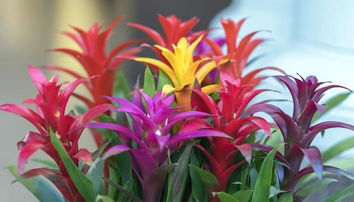 Several bright, colorful bromeliad plants grouped together near a window.