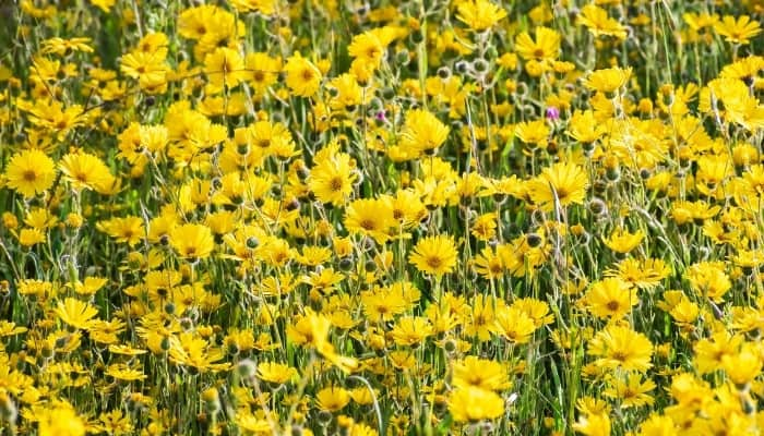 A field of common madia in full bloom.