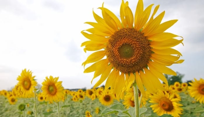 A common sunflower with many more visible in the background.