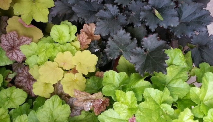 A variety of differently colored coral bells.