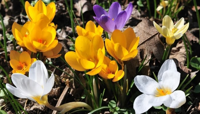 Newly emerged crocus flowers in yellow, purple, and white.
