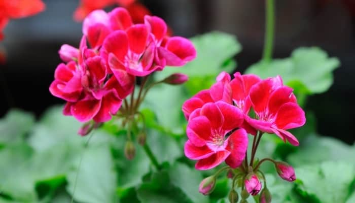 Two dark pink flowers of a geranium plant.