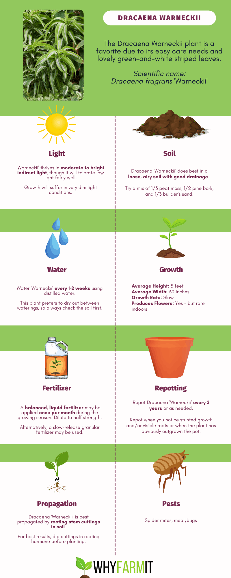 Graphic outlining care of Dracaena 'Warneckii'.