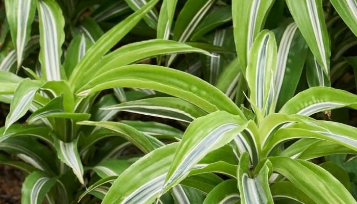 Green-and-white leaves of Dracaena fragrans 'Warneckii'.