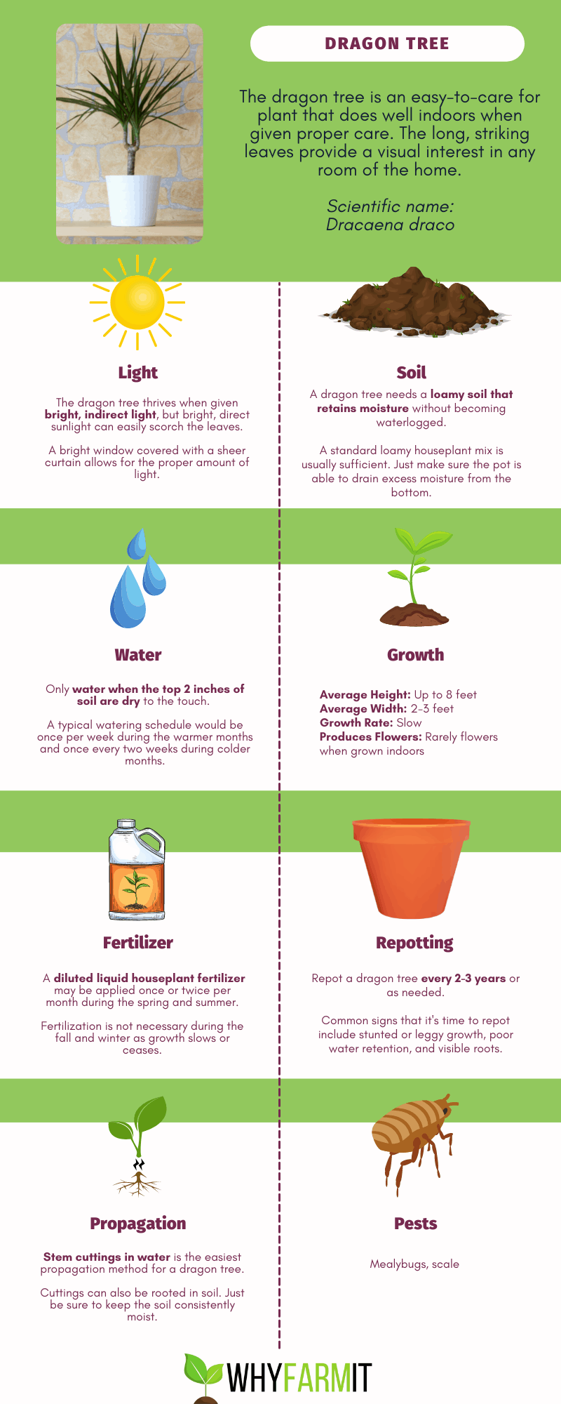 Graphic outlining care of a dragon tree.