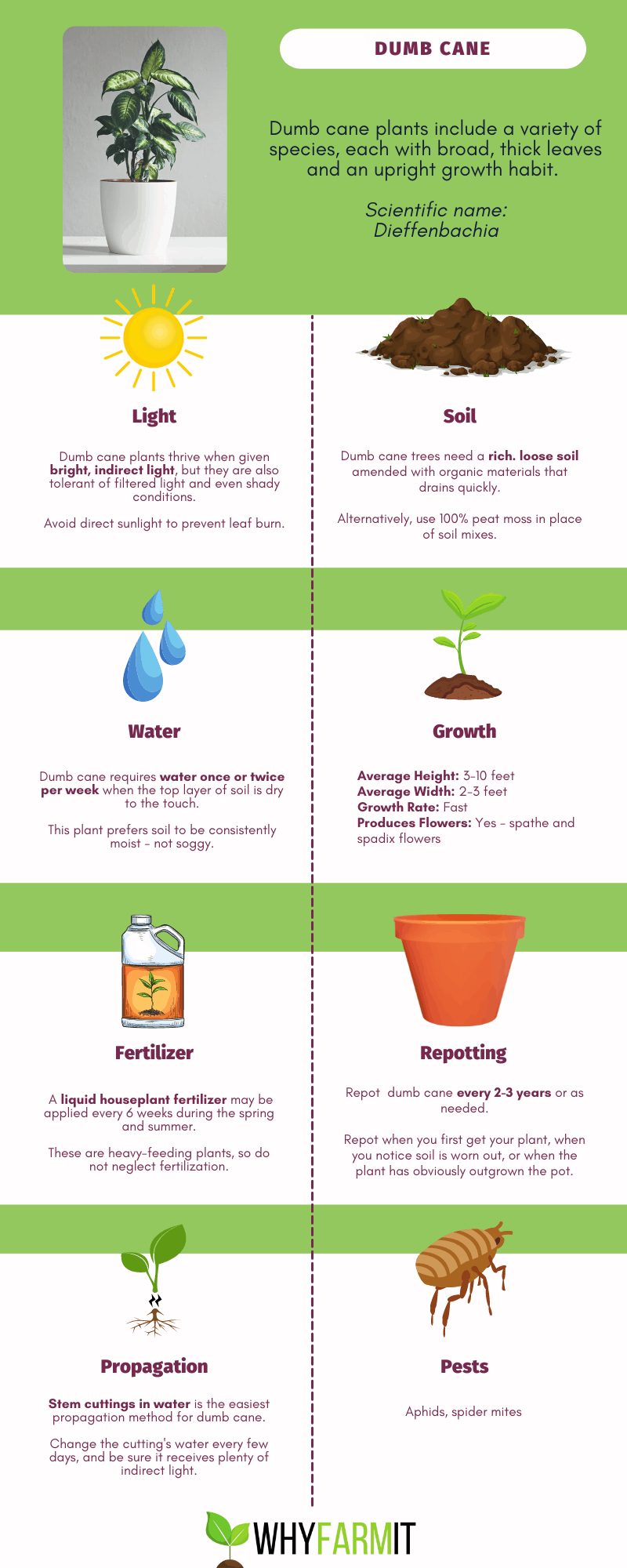 Graphic outlining care of dumb cane plant.