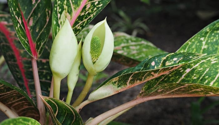 Several white flowers on a dumb cane plant.