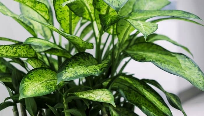 A close-up look at the foliage of a dumb cane plant.
