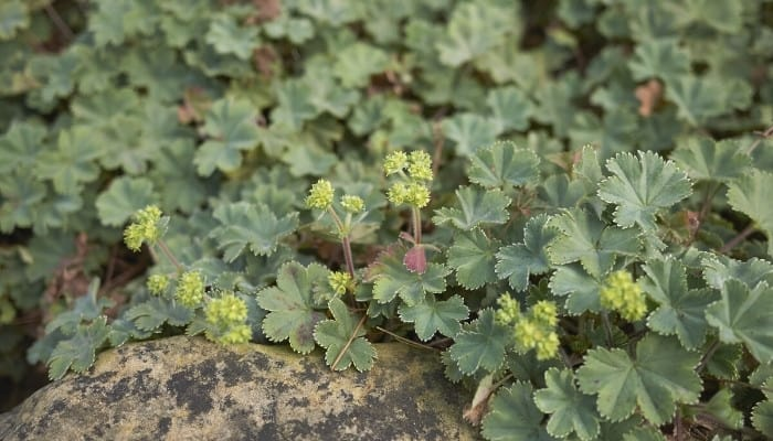 The leaves and blooms of a dwarf lady's mantle plant.