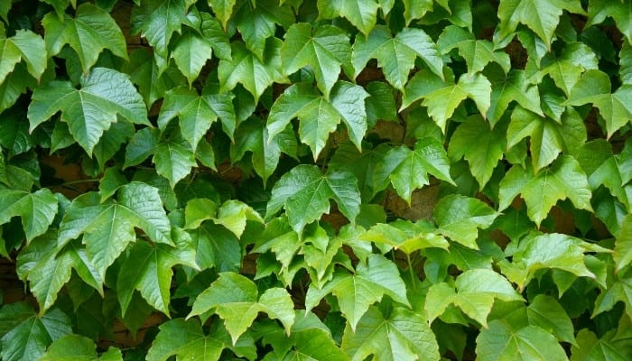 Dense English ivy spreading up and out to cover an outdoor wall.