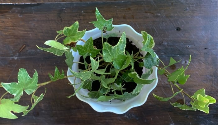An English ivy plant in a white flower pot on a dark wood table.