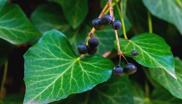 Hedera helix, or English ivy, with dark blue berries.