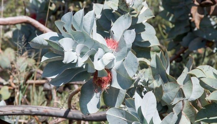 Leaves and flowers of Eucalyptus archeri.