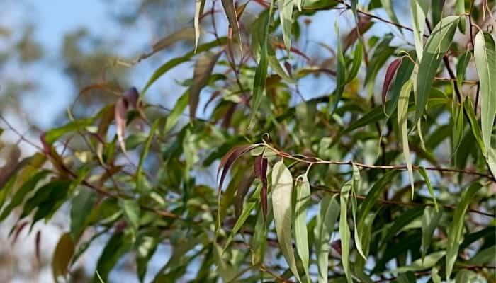 Leaves of a large eucalyptus citriodora tree.