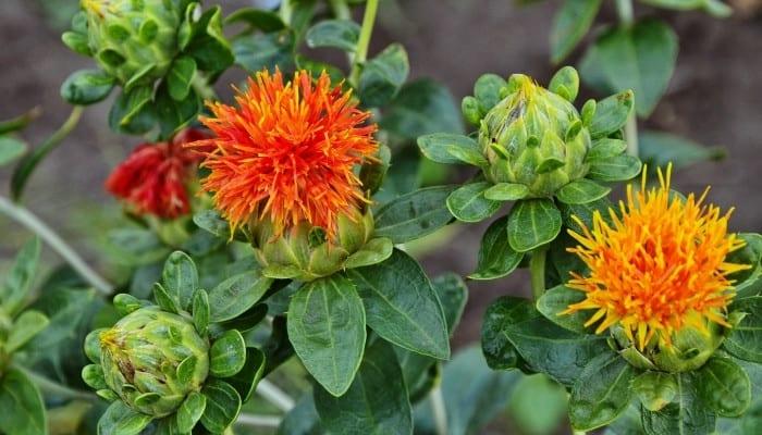 Two orange false saffron flowers.