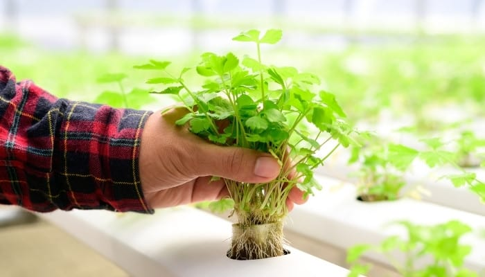A farmer with a red plaid shirt lifting a cilantro plant from a hydroponic growing system.