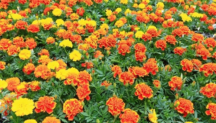 A field of orange and yellow marigold flowers.