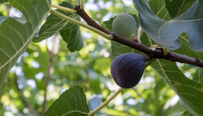 Figs ripening on the tree outdoors.