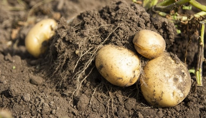 Four potatoes that have just been pulled out of the soil and are still attached to the plant.