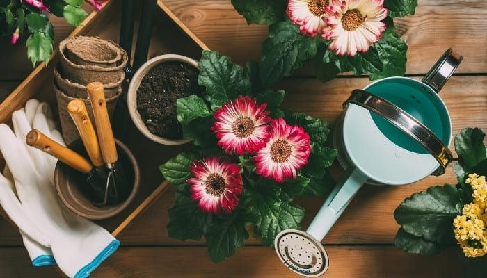 Two gerbera daisy plants surrounded by an assortment of pots, dirt, gloves, and a watering can.