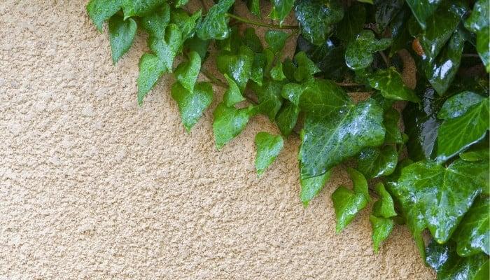 Gloire de Marengo ivy on a light-beige wall.