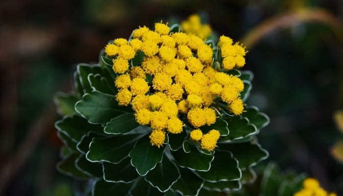 Yellow flower buds on a gold and silver chrysanthemum.