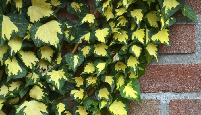 Gold Baby ivy growing on brick wall.