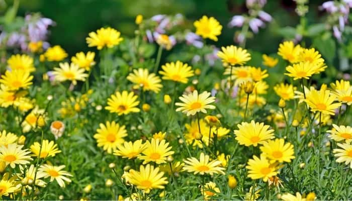 A Golden marguerite plant bursting with cheery yellow flowers.