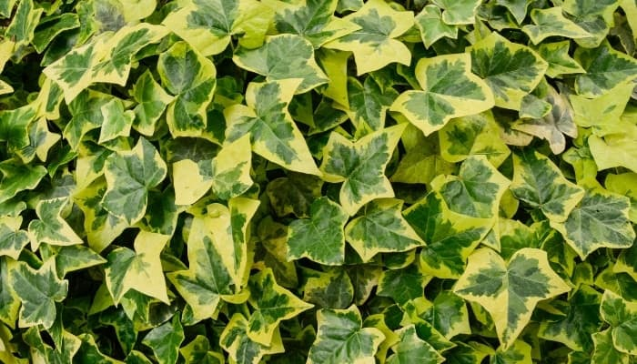 Hedera helix 'Goldchild' ivy with yellow borders.