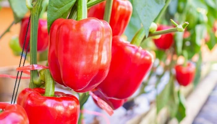 Perfect red bell peppers growing in a large hydroponic setup.