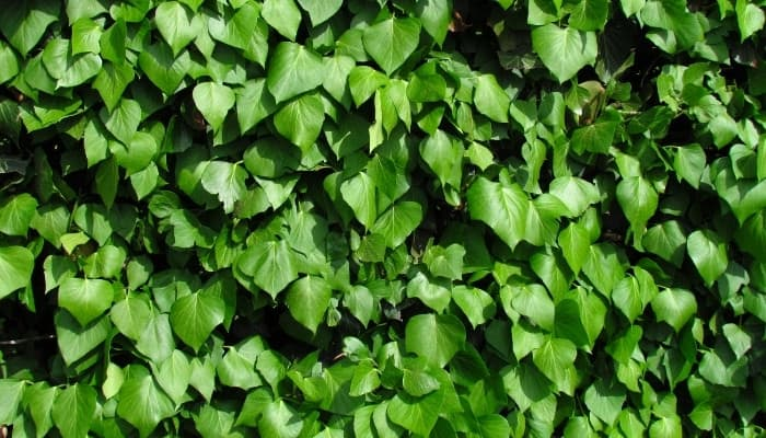 A wall of dense Irish ivy vines.