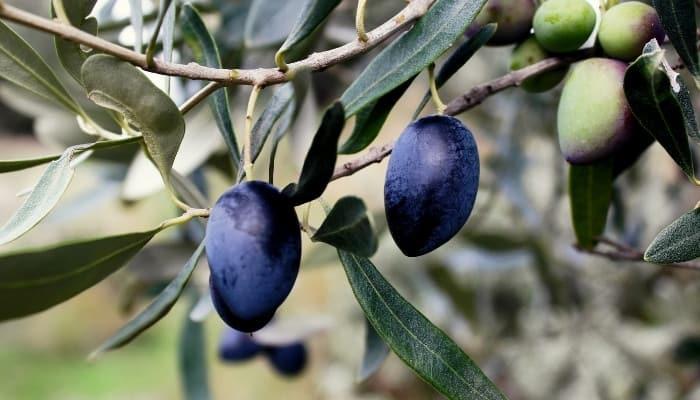 Koroneiki olives ripening on the tree.