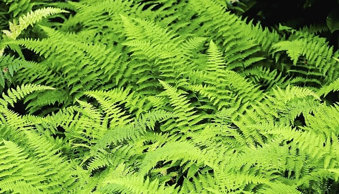 Large, bright green fern fronds