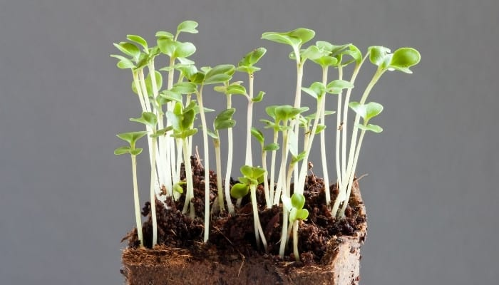 A group of leggy, overgrown broccoli seedlings against a gray background.