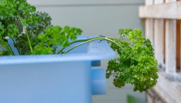 A leggy, top-heavy parsley plant falling over the side of a light-blue container.