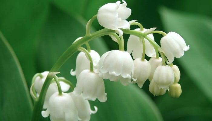 A flowering stalk of the lily of the valley plant.