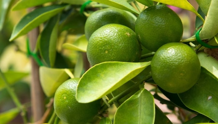 A cluster of ripe limes growing on a lime tree.
