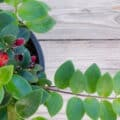 A lipstick plant with red blooms sitting on a natural-wood table.