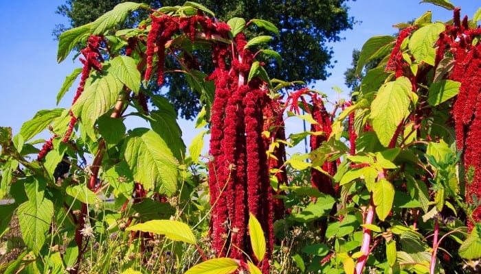 A love-lies-bleeding plant with trailing deep red blooms.