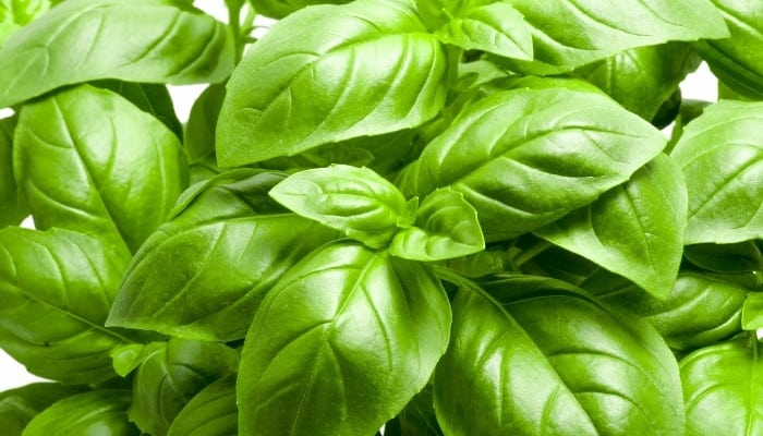 The leaves of a lush, healthy basil plant viewed from above at close range.