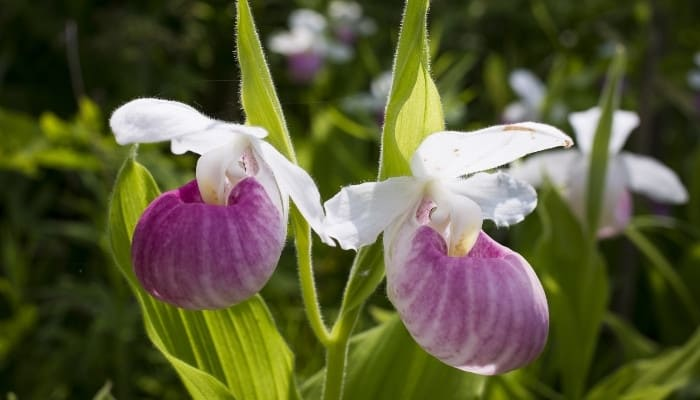 Two magenta-and-pink lady slipper orchid flowers.
