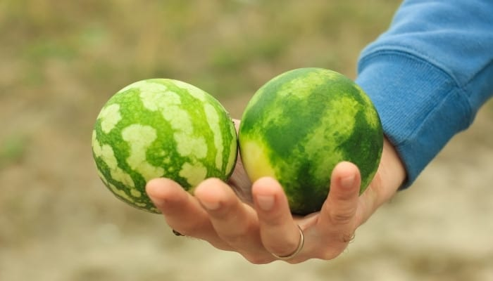 A man with two small, ripe watermelons in one hand.