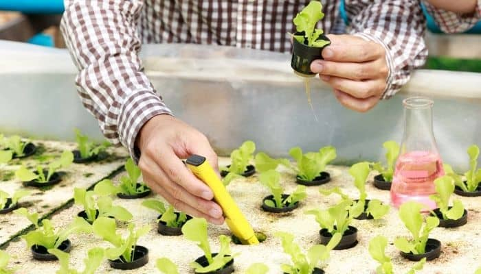 A man using a TDS meter to measure the nutrient levels for small lettuce plants.