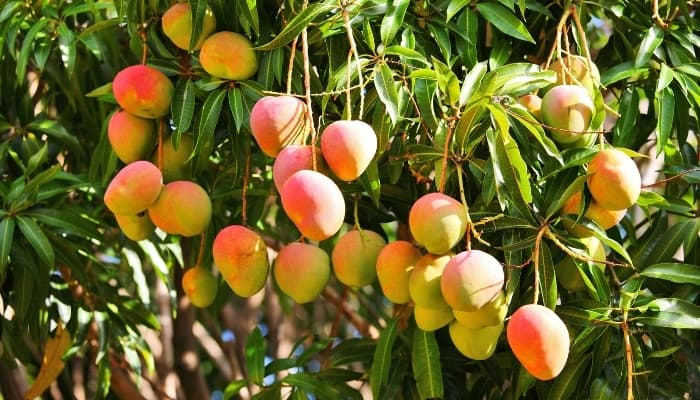A large mango tree full of nearly ripe fruit.