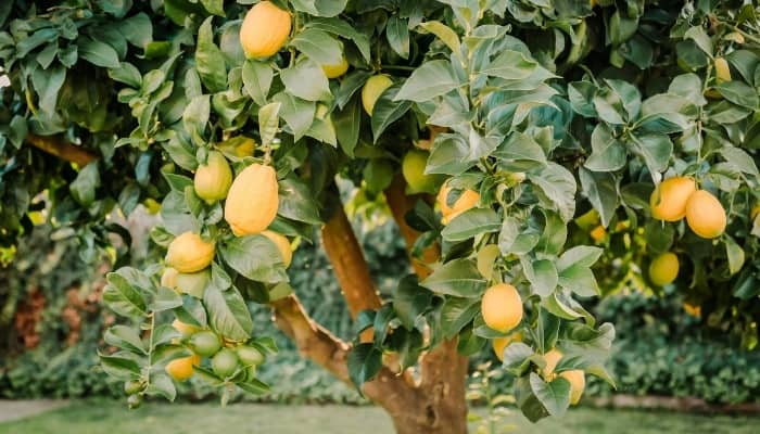A mature lemon tree with lemons ready for harvest in a backyard.