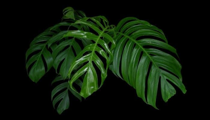 Several large Monstera leaves on a black background.