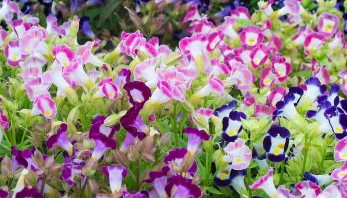 A variety of differently colored torenias in full bloom.