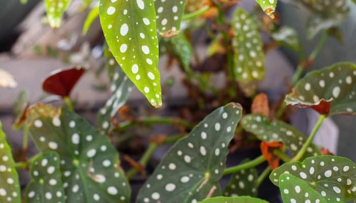 A shot of multiple leaves of a polka dot begonia plant.