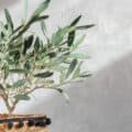 An olive tree indoors in basket-style pot.