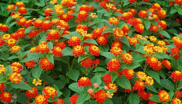 Multiple orange-and-yellow blossoms on a lantana plant.